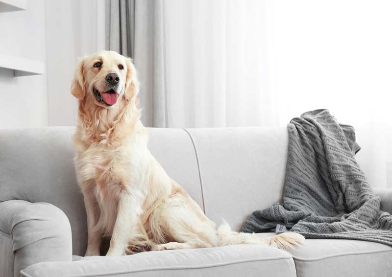 big dog sitting on clean upholstery